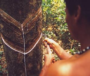 Seringueiros, floresta amazônica, amazônia, extrativismo