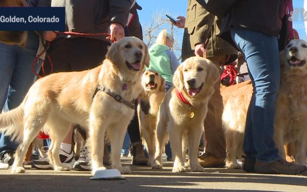 Cães da raça golden retriever participam de encontro na cidade de Golden, Colorado, nos EUA, no domingo (3 — Foto: Reprodução/NBC