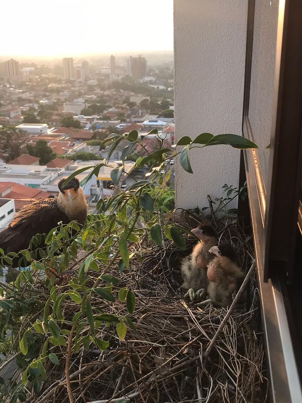 Casal de carcarás fez um ninho na floreira de um apartamento no 12º andar de um prédio na área central de Presidente Prudente (SP) — Foto: Ana Eugênia Perrone