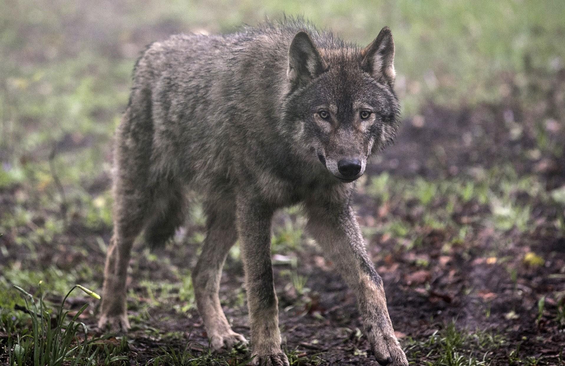Um lobo na natureza (Foto: Getty Images)