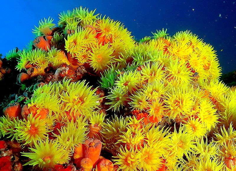 Coral-sol (Foto: Wikimedia Commons)