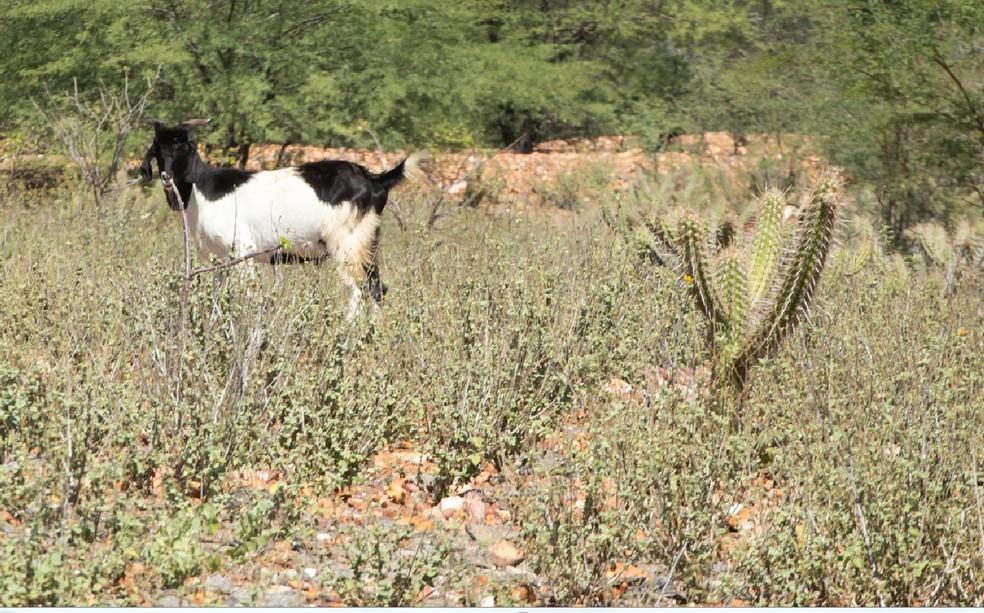 Bodes se alimentam de plantas rasteiras, folhas de árvores e até dos cactos mais secos na caatinga. — Foto: Celso Tavares/G1