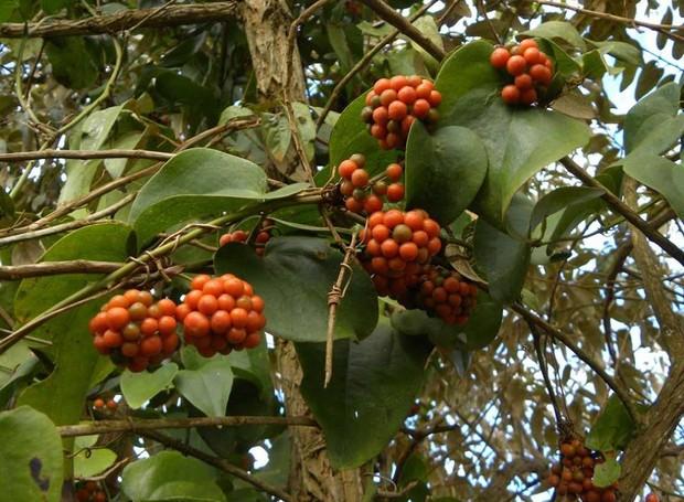 Fruta Japeçanga (Foto: Hélton Josué Teodoro Muniz/Divulgação)