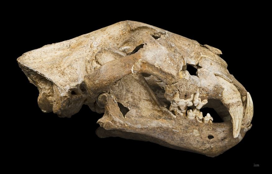 Crânio de leão-das-cavernas extinto há 30 mil anos é encontrado na Sibéria