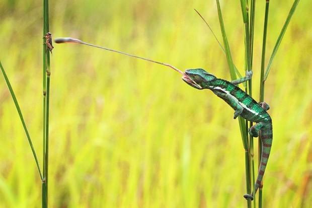 Predatismo: camaleão captura inseto. (Foto: G1)