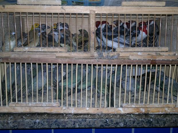 Homem transportava cerca de 400 pássaros em caixas no porta-malas do carro (Fot Divulgação/Polícia Rodoviária Federal)