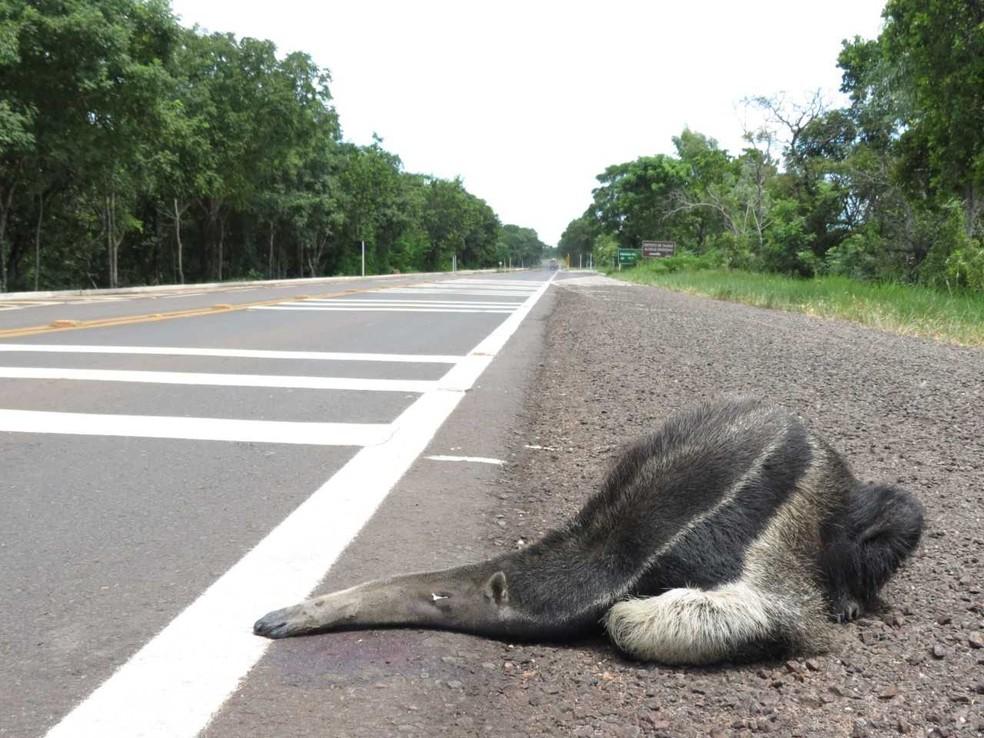 Tamanduá, uma vítima constante de atropelamentos no pantanal — Foto: Projeto Bandeiras e Rodovias/Divulgação