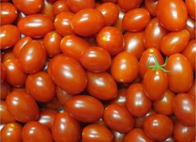 pesquisa-embrapa-tomate (Foto: Embrapa)