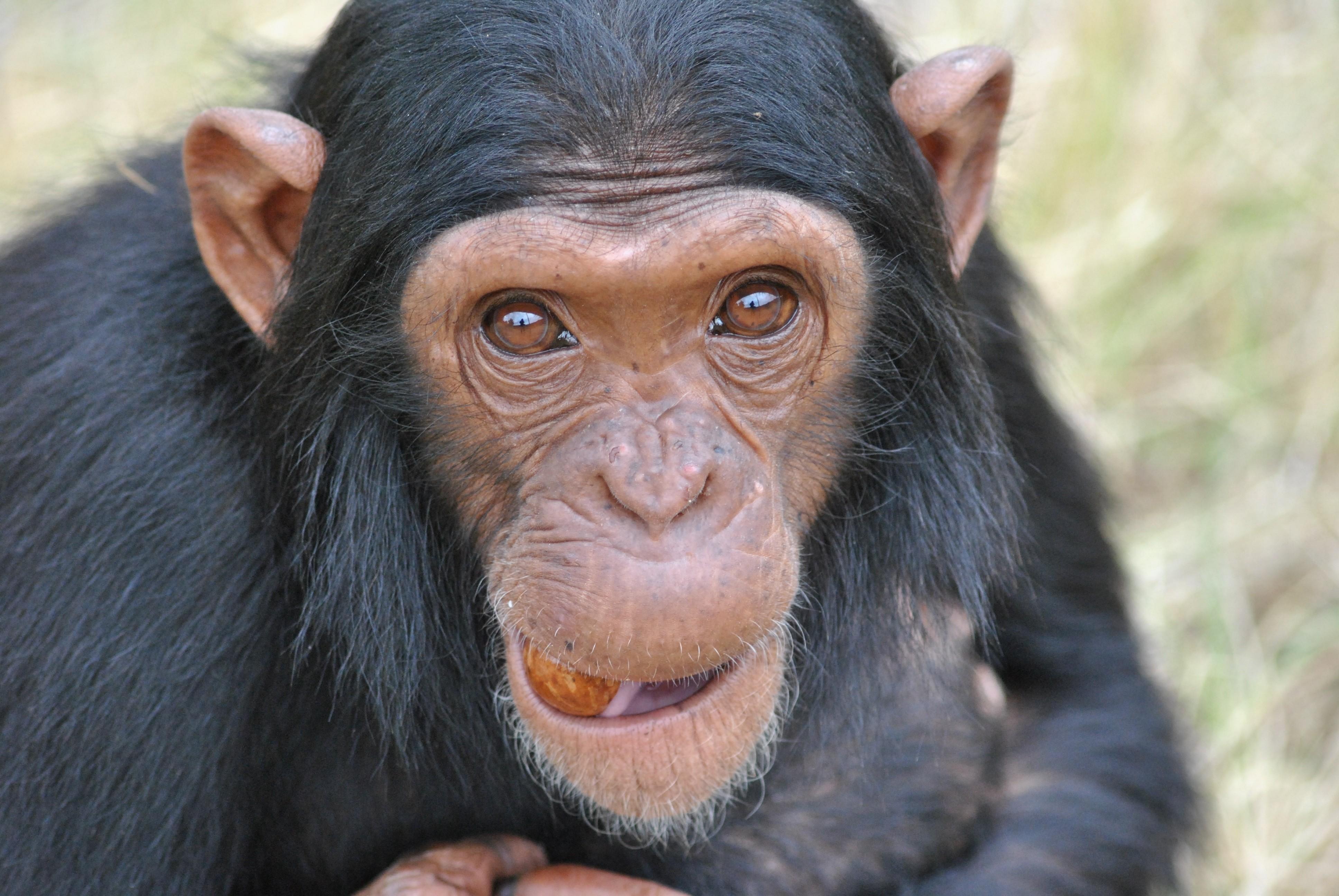 chimpanz s t m capacidade cognitiva para cozinhar galileu ci ncia. Black Bedroom Furniture Sets. Home Design Ideas