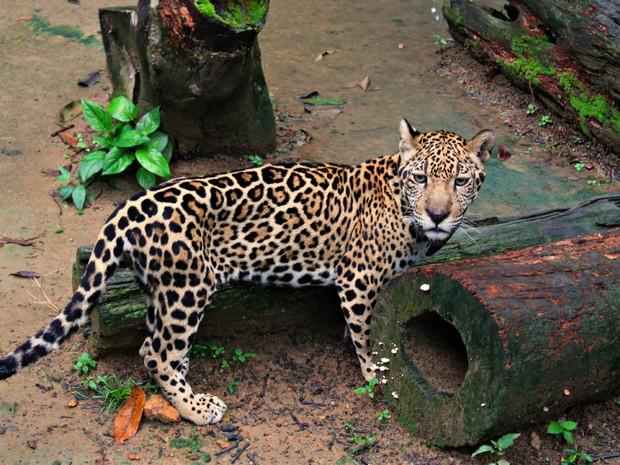 Cunhã é a onça mascote mais nova do zoológico (Foto: Tiago Melo/G1 AM)