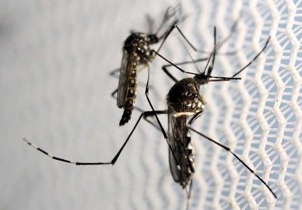 Mosquitos Aedes aegypti são vistos em laboratório da Oxitec em Campinas, São Paulo. O mosquito é transmissor das doenças dengue, zika vírus e febre chikungunya (Foto: Paulo Whitaker/REUTERS)