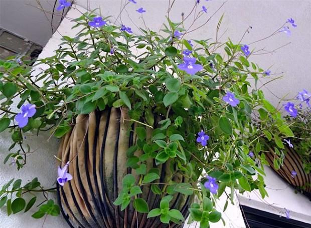 Violeta-pendente é uma herbácea florífera com folhas pequenas e ovaladas (Foto: Reprodução/Pinterest)