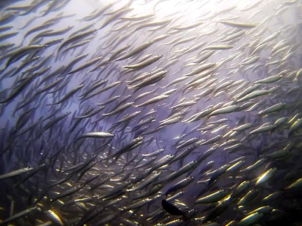 Reprodução completa das sardinhas é feita em laboratório de forma inédita (Foto: Divulgação/Univali)