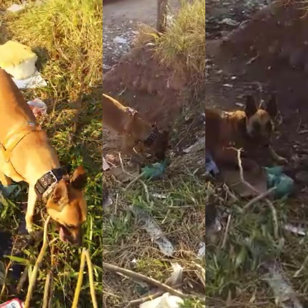 Vídeo mostra momento em que cão farejador acha sacola com drogas em Jundiaí