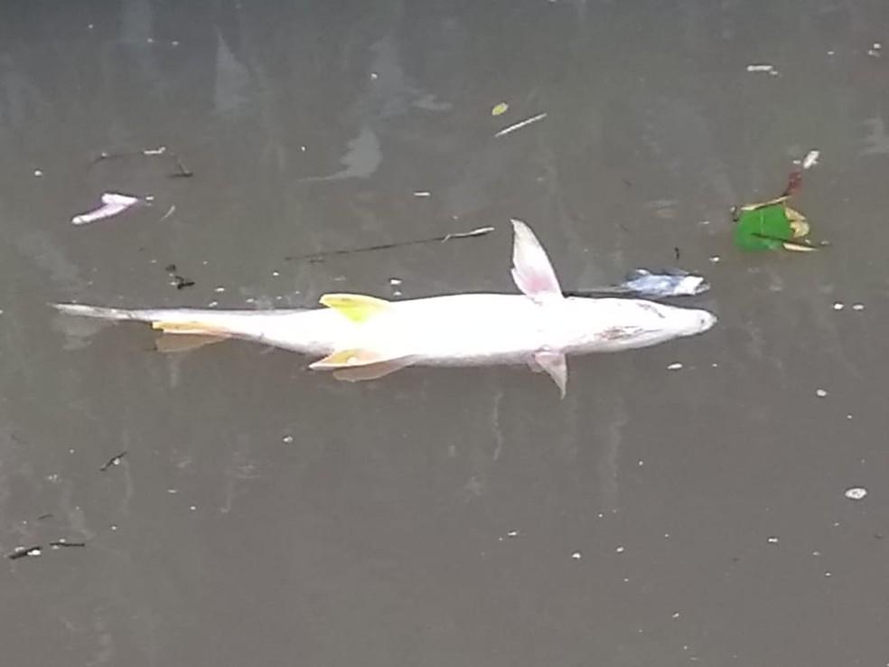 Peixes mortos apareceram no rio Mogi Guaçu em Pirassununga — Foto: Arquivo pessoal