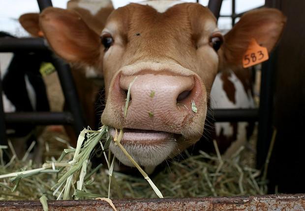 agropecuária, vacas, fazenda, produção de leite (Foto: Justin Sullivan/Getty Images)