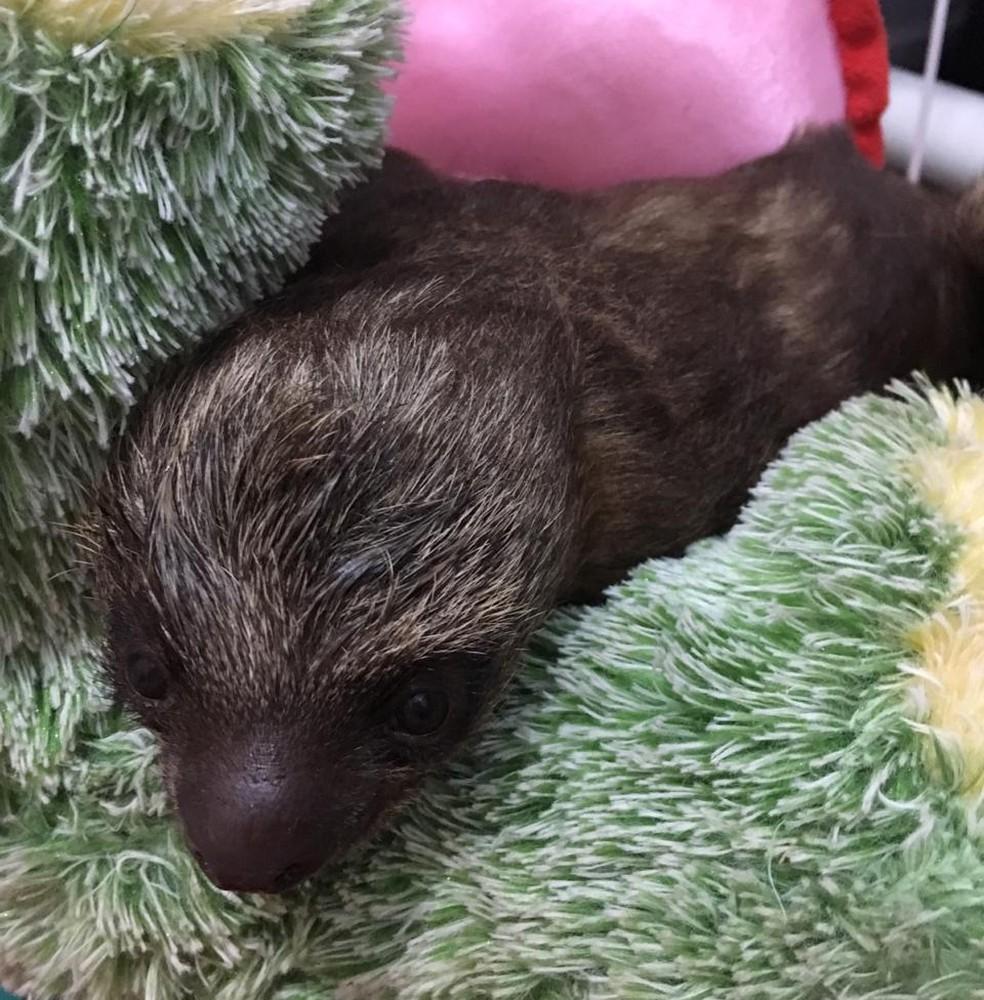 Mãe da preguiça morreu em decorrência de um ferimento generalizado no braço. — Foto: Arquivo pessoal