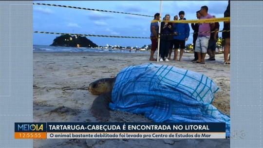 Tartaruga-cabeçuda é encontrada por banhistas, em Guaratuba
