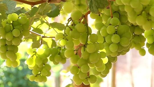 Aumento na procura por uvas sem sementes anima produtores