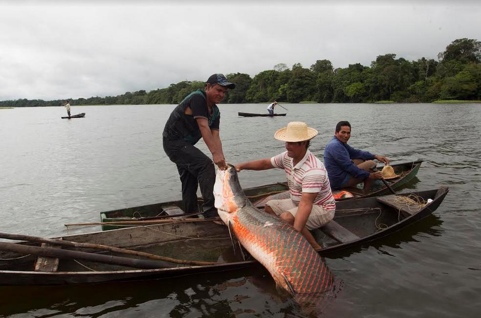 -  Pirarucu manejado é pescado de lagos e rios, onde tem vida livre na natureza  Foto: Divulgação/Bruno Kelly