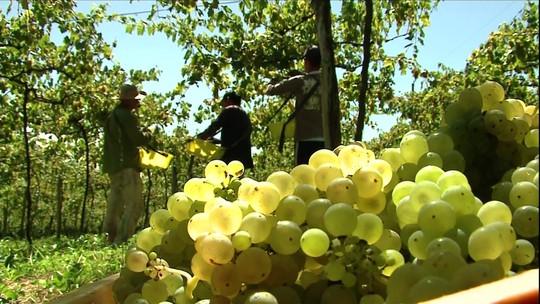 Colheita de uva no RS é antecipada e produtores comemoram a qualidade
