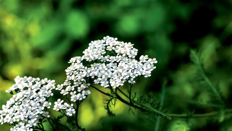 como plantar mil-folhas (Foto: Thinkstock)