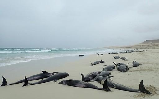 Após encalharem em praia de Cabo Verde, 136 golfinhos são encontrados mortos