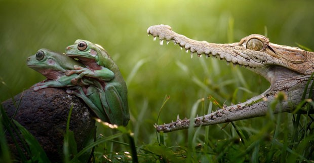 Casal 'apaixonado' de sapos não percebeu crocodilo à espreita logo atrás (Fot Fahmi Bhs/Solent News)