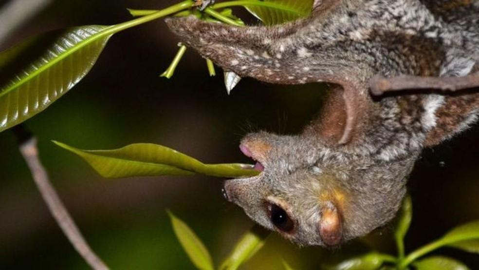 Os colugos comem folhas e flores diretamente dos galhos das árvores — Foto: Priscillia Miard/BBC
