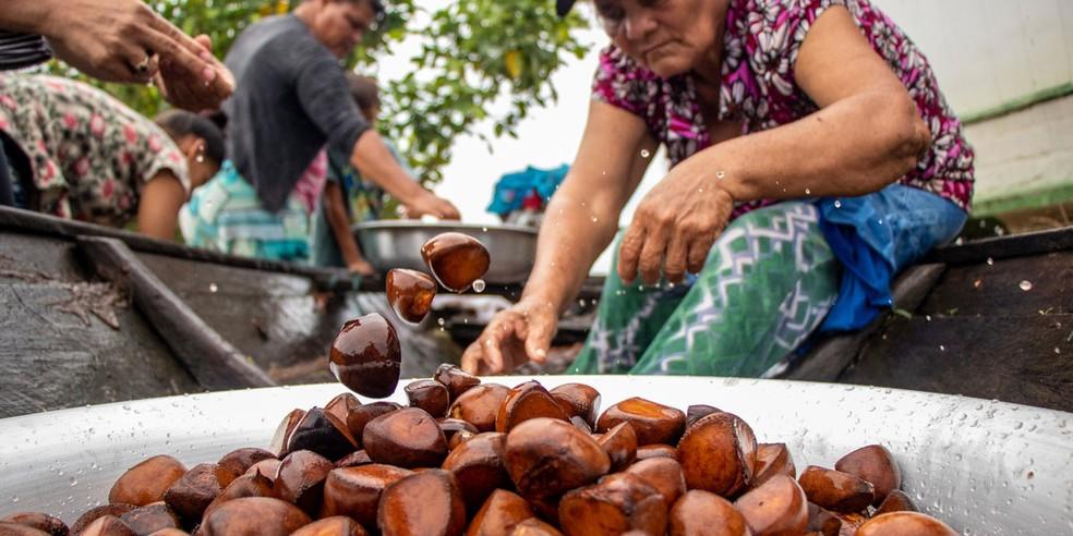 Semente de andiroba é retirada de árvores altas, de copas pequenas que estão presentes na América do Sul, Central e no Caribe e é usado de diversas maneiras no Amazonas. — Foto: Divulgação/Instituto Mamirauá