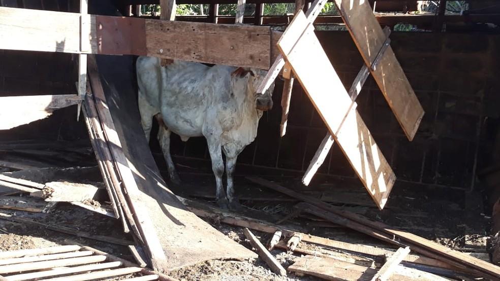 Caminhão estaria com 20 cabeças de gado, que ficaram soltas na pista após o acidente em Tupã  — Foto: João Trentini /Divulgação