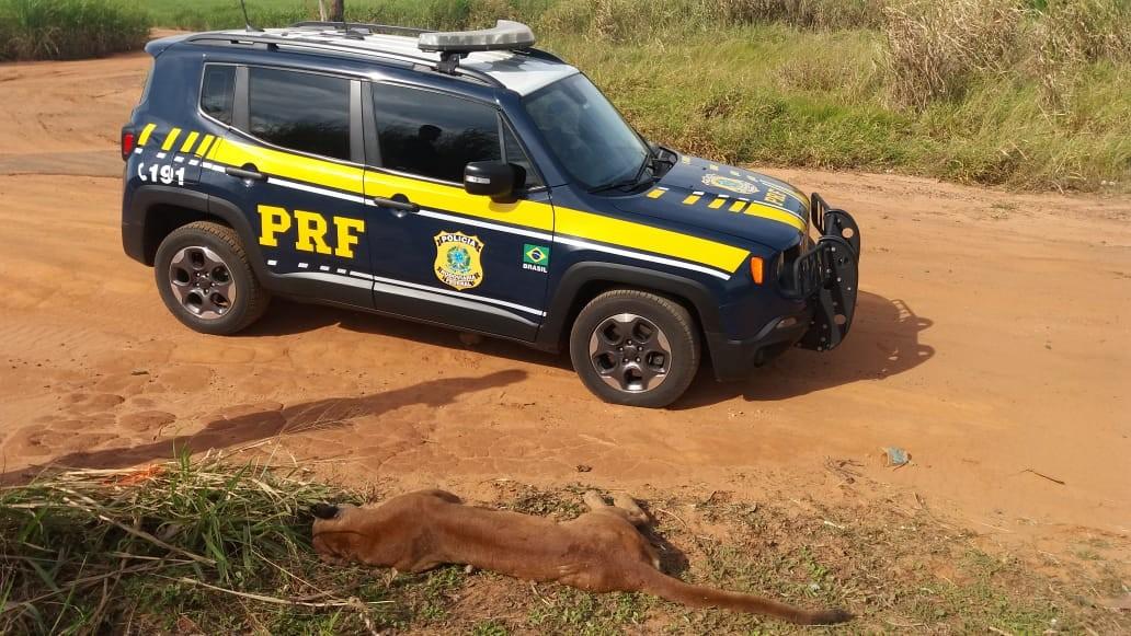 Onça parda é encontrada morta às margens da BR-376, no noroeste do PR  - Notícias - Plantão Diário