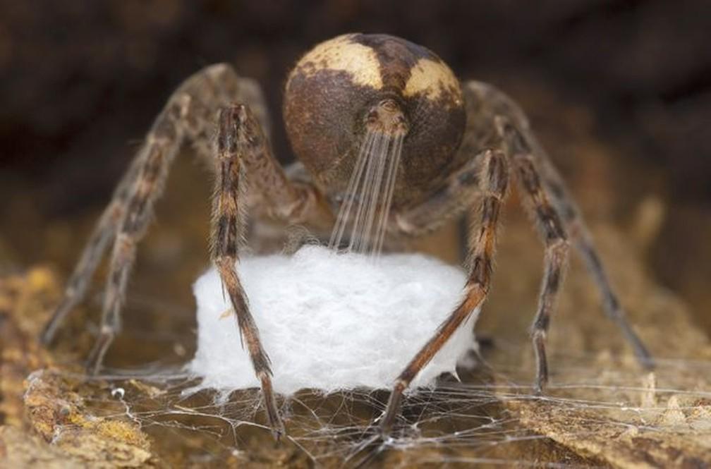 Esta aranha dolomedes está produzindo seda por meio de suas fiandeiras para tecer seu saco de ovos — Foto: GIL WIZEN/WPY