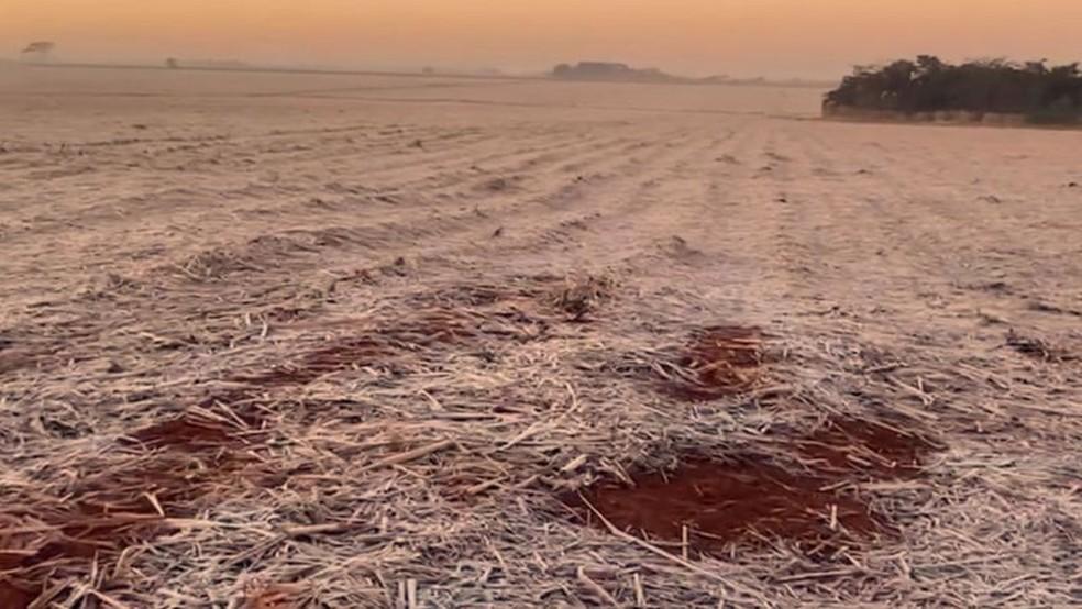 Canas recém-brotadas, pós-colheita, foram afetadas pela geada também — Foto: CESAR MIKISHI UEMURA/DIVULGAÇÃO/BBC
