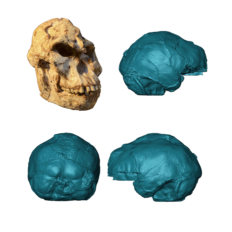 Reconstrução virtual do crânio de pé-pequeno (Foto: M. Lotter and R.J. Clarke/Wits University)