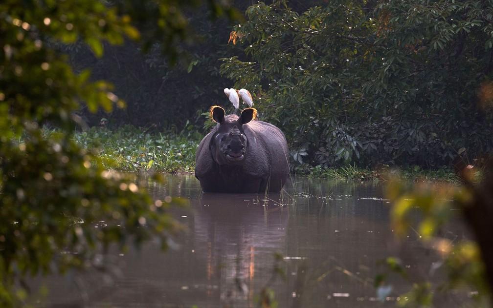 Rinoceronte é visto em área alagada do santuário selvagem Pobitora, ao leste de Gauhati, na Índia, na sexta-feira (19) — Foto: AP Photo/Anupam Nath