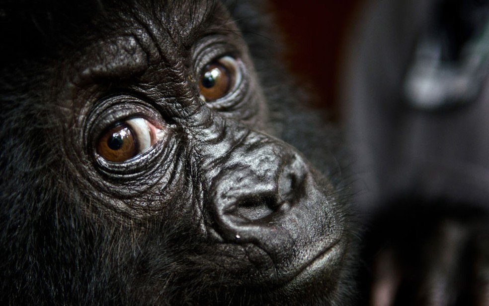 Foto de arquivo mostra gorila no Parque Nacional de Virunga, na República Democrática do Congo — Foto: AFP/LuAnne Cadd/Virunga National Park