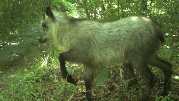 BBC - Este serau japonês é uma das 20 espécies que Beasley e sua equipe conseguiram detectar na área (Foto: JAMES BEASLEY)