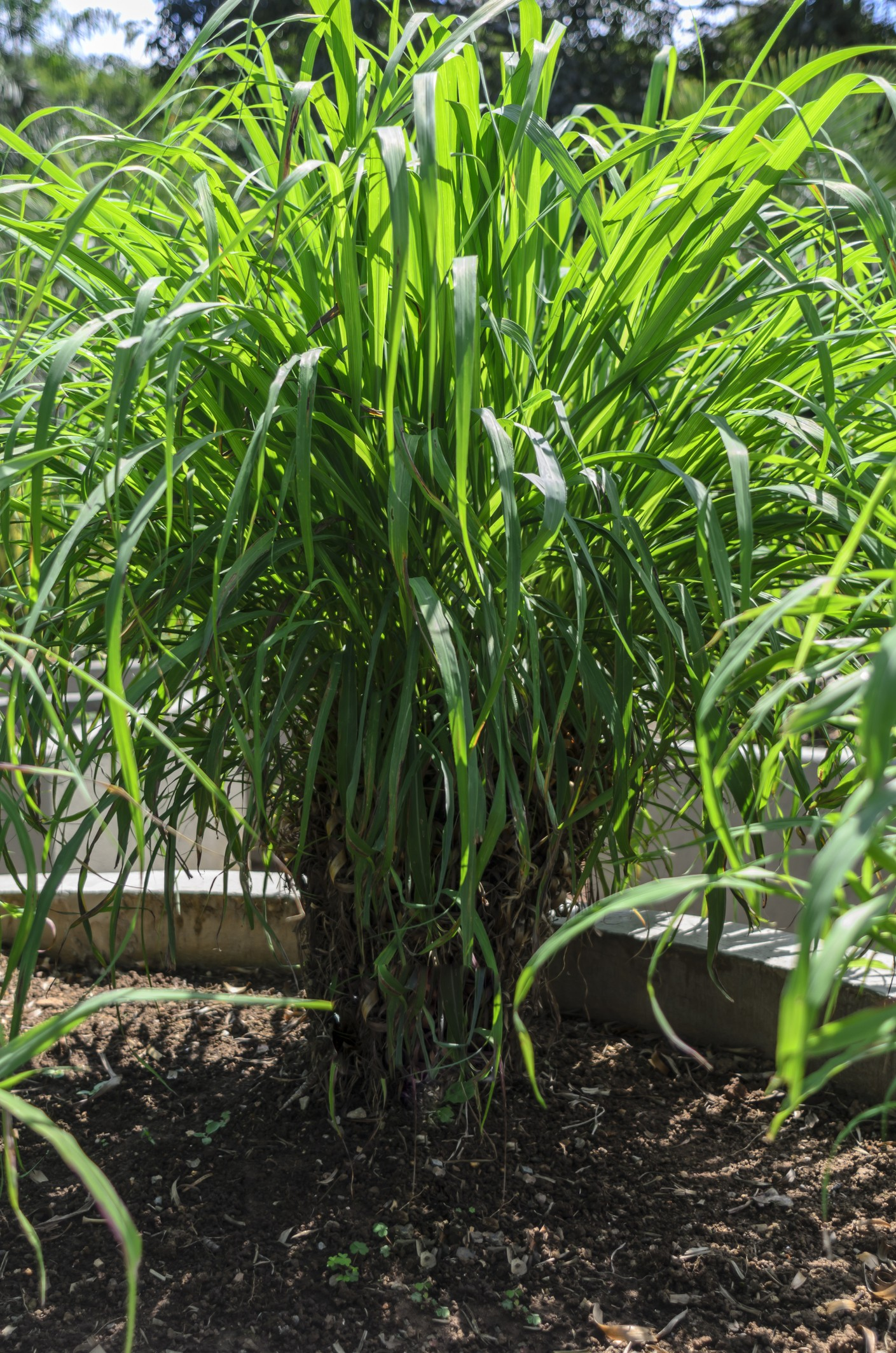The citronella, scientifically known as Cymbopogon nardus or Cymbopogon winterianus, is a medicinal plant with repellent properties for insects, flavoring, bactericidal and soothing, and is widely used in the manufacture of cosmetics.This plant can be gr (Foto: Getty Images)