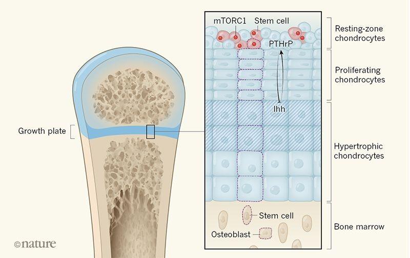 O processo de crescimento dos ossos.  (Foto: Nature)