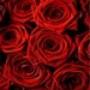 Papel de Parede: Red Roses