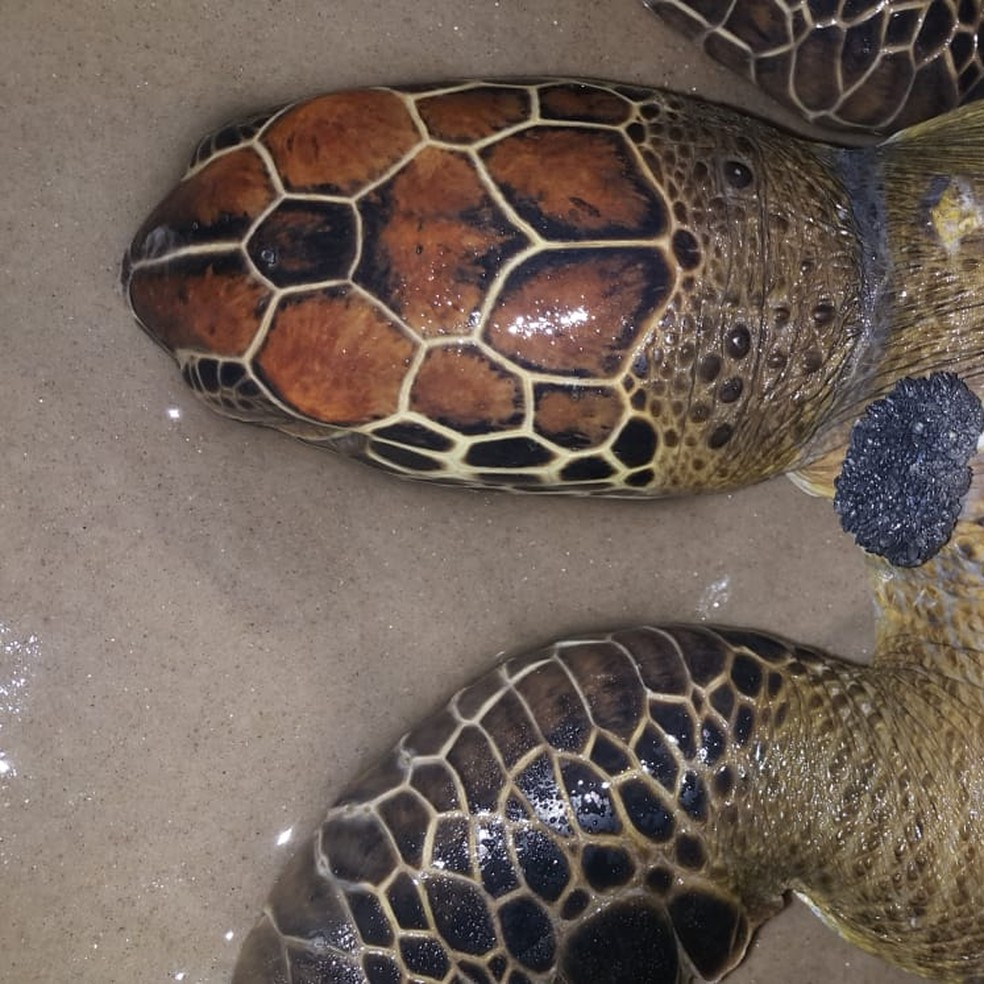 Tartaruga verde é encontrada morta no sul da Bahia — Foto: Projeto (A)mar