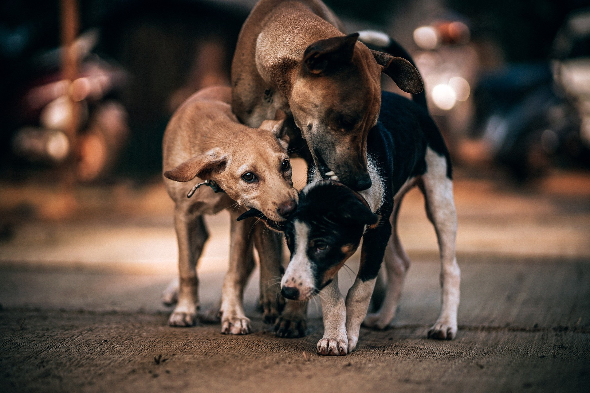 Pesquisadores querem usar inseticida em cachorros - e por uma boa causa