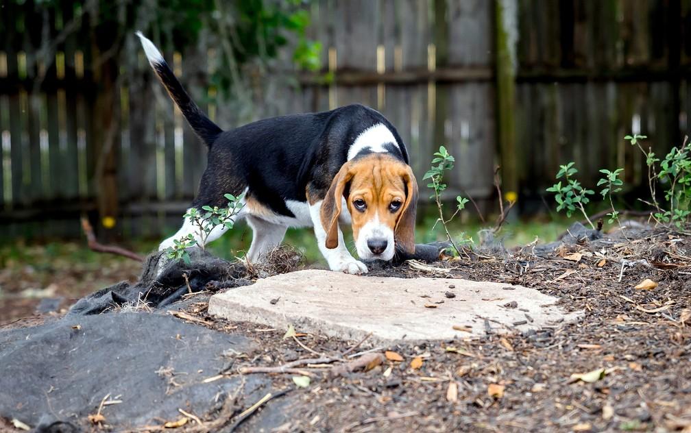 Cão da raça beagle usado na pesquisa de identificação do câncer nos Estados Unidos — Foto: BioScentDX/Divulgação
