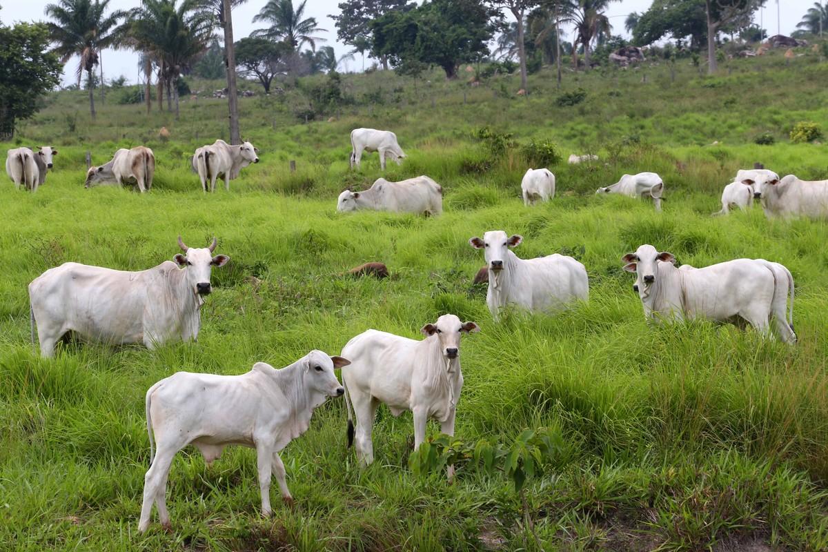 Mais de 67% dos animais já foram vacinados contra febre aftosa em Roraima
