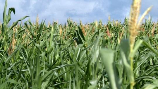 Chuva no primeiro semestre não foi suficiente e agricultores amargam perdas de 90% em AL