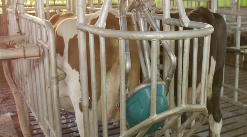 Banheiro de vaca, vaca (Foto: Reprodução: YouTube)