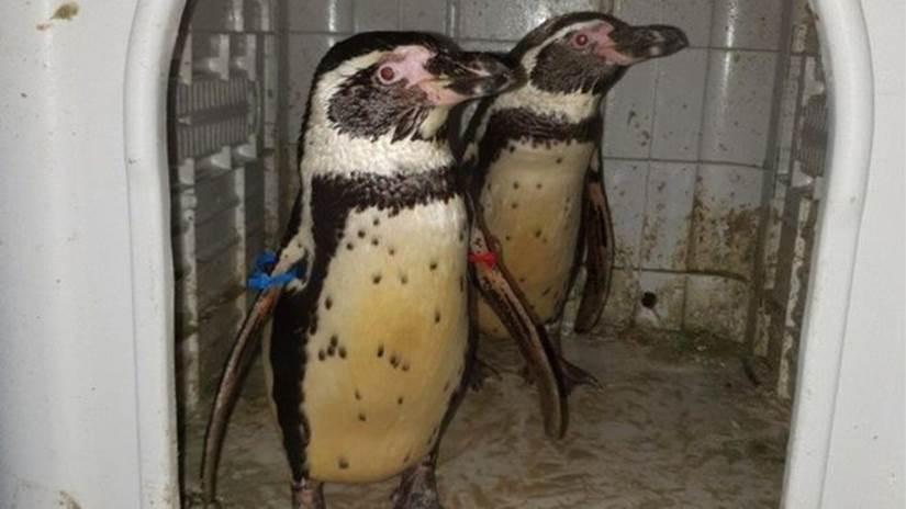 Pinguins roubados de zoo são recuperados dois meses depois na Inglaterra