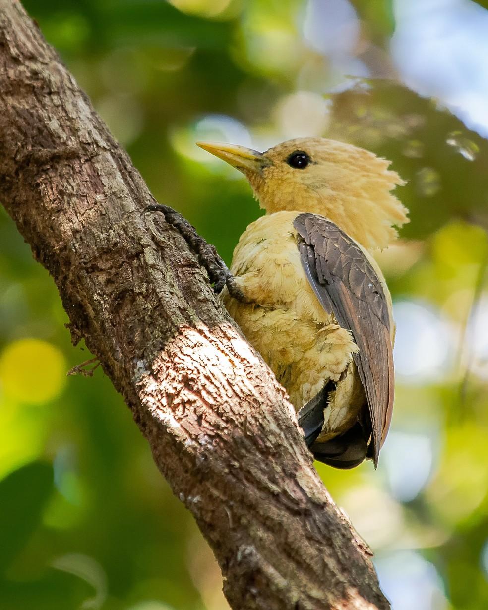 Fêmea do pica-pau-amarelo não possui mancha vermelha na face — Foto: Ney Matsumura/ Arquivo Pessoal