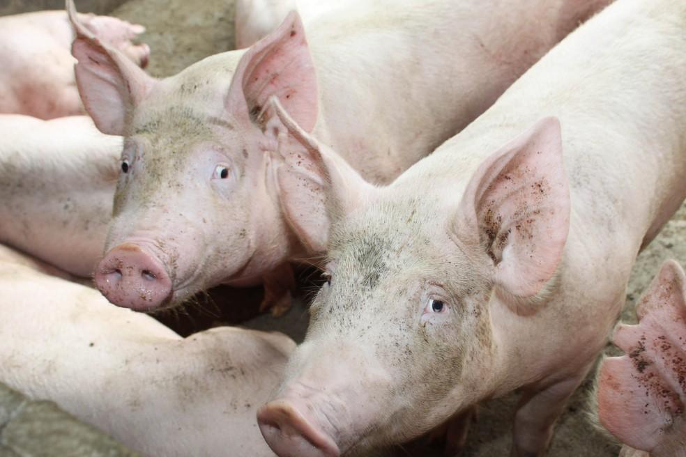 Governo do Ceará decreta estado de emergência e interdita fazendas após caso de peste suína em Forquilha — Foto: Divulgação/Jonas Oliveira/AEN